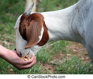 ταΐζω , goat