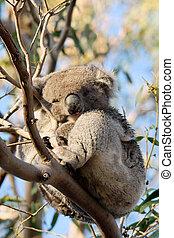 τεμπέλης , δενδρόβιο ζώο της αυστραλίας