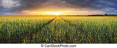 τοπίο , με , σιτάλευρο αγρός , γεωργία , - , πανόραμα