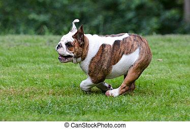 τρέξιμο , σκύλοs
