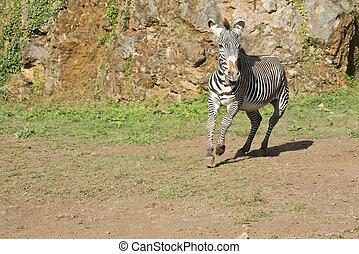 τρέξιμο , zebra, ελεύθερος