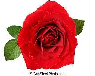 τριαντάφυλλο , 2 , κόκκινο