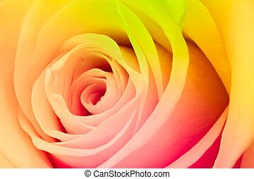 τριαντάφυλλο , multicolor