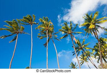 τροπικός , βάγιο , χαβάη , δέντρα