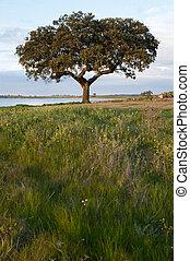 φελλός , δέντρο