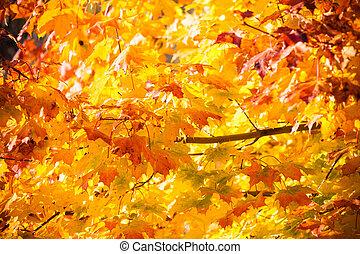 φθινόπωρο άκερ φύλλο , φόντο