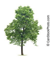 φιλύρα , δέντρο
