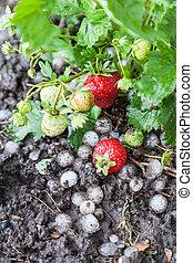 φράουλα , καταστραμμένος , από , χαλάζι