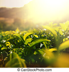 φυτεία , τσάι