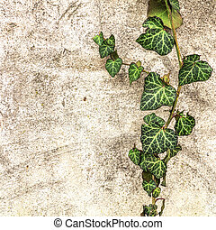 φόντο , γριά , τοίχοs , και , κισσός , φύλλα