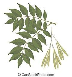 φόντο. , φύλλα , δέντρο , απομονωμένος , εικόνα , ρεαλιστικός , μικροβιοφορέας , αγαθός μελία