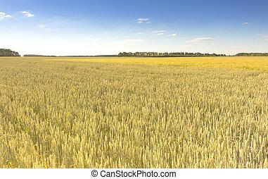 φόντο , backdrop , από , κίτρινο , αυτιά , επάνω , ο , όμορφος , χρυσαφένιος , σιτάλευρο αγρός