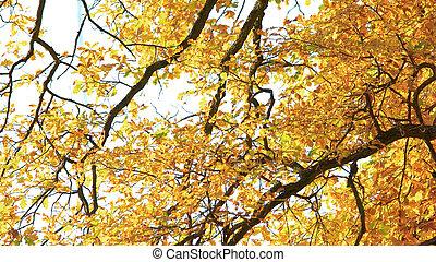 φύλλα , ηλιόλουστος , δέντρα , φθινόπωρο , park., κίτρινο