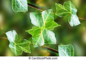 φύλλα , κισσός