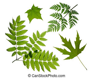 φύλλα , πράσινο , απομονωμένος