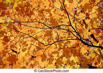 φύλλα , σφένδαμοs