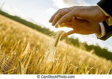 χέρι , από , ένα , αρμοδιότητα ανήρ , αγγίζω ακάλυπτος , να , άγγιγμα , αυτιά , από , χρυσαφένιος , σιτάρι