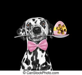 χαριτωμένος , δαλματικός σκύλος , σκύλοs , με , κουτάλι , και , πόσχα , egg., απομονωμένος , επάνω , μαύρο