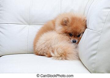 χαριτωμένος , pomeranian , καναπέs , σκύλοs , κοιμάται , αγάπη μου , άσπρο