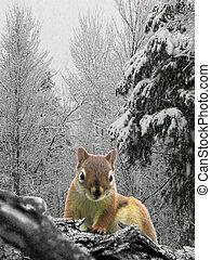 χειμώναs , σκίουρος