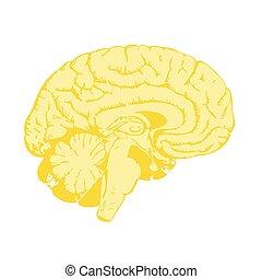 χρυσαφένιος , εγκέφαλοs