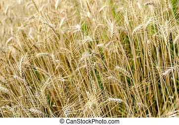 χρυσαφένιος , σιτάλευρο αγρός , μέσα , καλοκαίρι