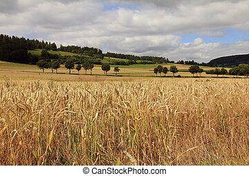 χρυσαφένιος , σιτάλευρο αγρός