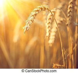 χρυσαφένιος , σιτάρι , field., αυτιά , από , σιτάρι , closeup., συγκομιδή , γενική ιδέα