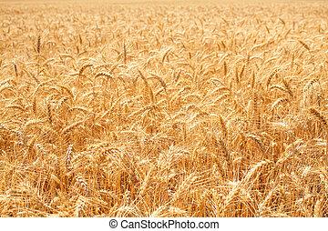 χρυσός , σιτάλευρο αγρός
