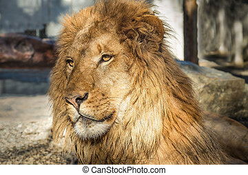 χρώμα , λιοντάρι , εικόνα , πορτραίτο