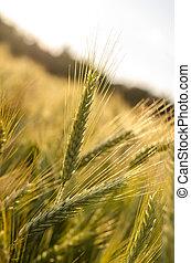 ωρίμαση , σιτάλευρο αγρός