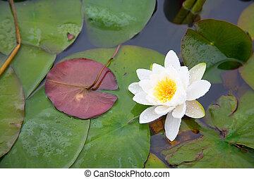 όμορφος , άσπρο , νούφαρο , μέσα , ένα , λιμνούλα
