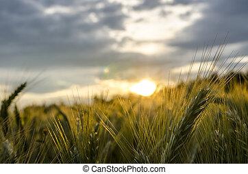 όμορφος , ηλιοβασίλεμα , διαμέσου , σιτάλευρο αγρός