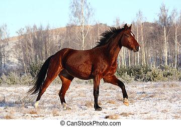 όμορφος , καβουρντίζω άλογο , τρέξιμο , ελεύθερος