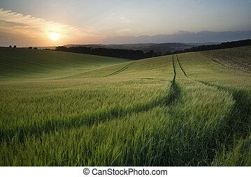 όμορφος , καλοκαίρι , τοπίο , από , πεδίο , από , ακμάζω , σιτάρι , σοδειά , κατά την διάρκεια , ηλιοβασίλεμα