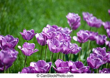 όμορφος , ροζ , κήπος , τουλίπα