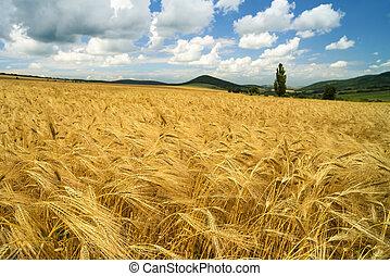 όμορφος , χρυσαφένιος , σιτάλευρο αγρός , επάνω , ένα , λόφος