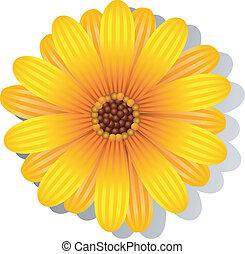 όμορφος , gerber , κίτρινο , μαργαρίτα