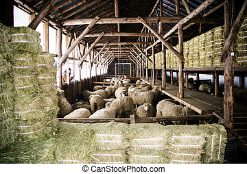 όμορφος , sheep, κορέα , χειμώναs , ράντσο , daegwallyeong, ...