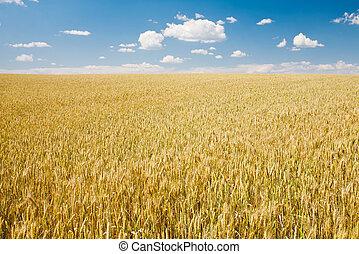 ώριμος , σιτάρι , τοπίο , εναντίον , γαλάζιος ουρανός