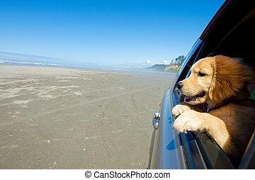 автомобиль, окно, щенок, собака