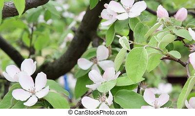 айва, blossoming, ветви