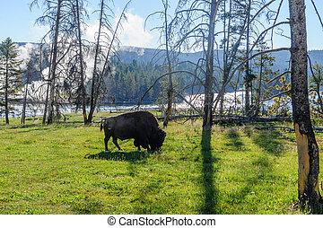 американская, бизон, в, йеллоустоун