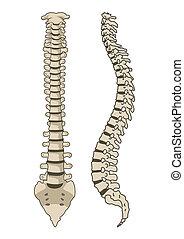 анатомия, позвоночник, вектор, система, человек