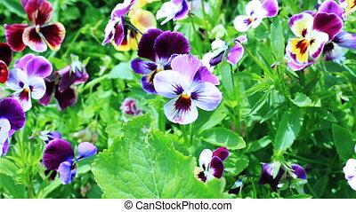 анютины глазки, цветы