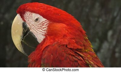 ара, красный, попугай