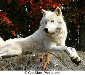 арктический, волк, laying, на, камень
