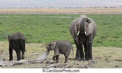африканец, молодой, calves, слон