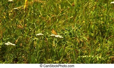 бабочка, белый, цветок