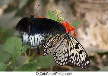бабочка, два
